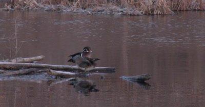 Wood Duck Pair Standing on Beaver Lodge, Preening