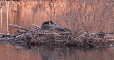 Canada Goose Hen Sleeping on Nest, Eyes Closed, Satisfied