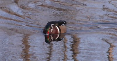 Wood Duck Drake Swimming in Pond, Drinks Water, Exits