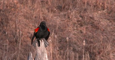 Red-winged Blackbird Calls From Perch, Then Looks Around