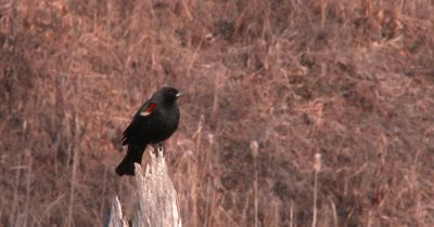 Red Winged Blackbird Sitting On Perch, Looking Behind