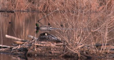 Canada Goose on Nest, Mallard Duck Drake Swims Behind, Exits