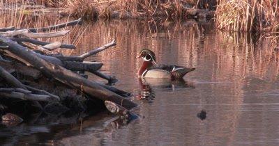Wood Duck Drake Sitting in Pond Near Beaver Lodge, Hen Enters Scene, Feeds