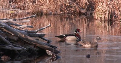 Wood Duck Pair in Pond Near Beaver Lodge, Drake Drinks, Preens, Hen Swims Off