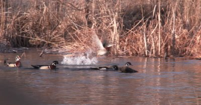 Group of Male Wood Ducks in Pond, Driving Another Male Off, Attacking