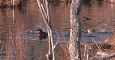 Group Of Male Wood Ducks, Drakes, Swimming In Pond, Flapping, Moving About