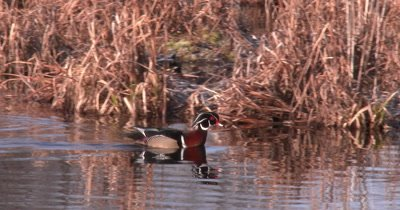 Wood Duck Drake Moving Through Pond, Swimming, Stops, Fluffs Feathers, Swims Quickly Off