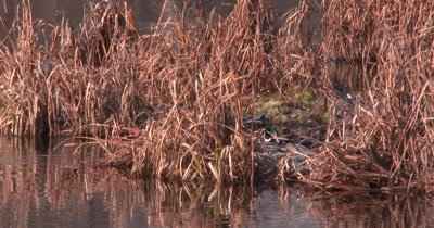 Male Wood Duck Emerges From Vegetation, Exits, Another Duck Passes Going Opposite Direction