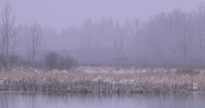 Wetland in Early Spring, Light Snow, Canada Geese Passing in Foreground, Cattails