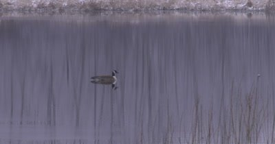 Canada Goose Floating in Spring Pond, Snow on Reeds, Reflection