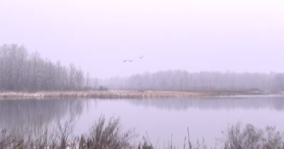 Trio of Ducks Flying Over Early Spring Wetland, Cattails