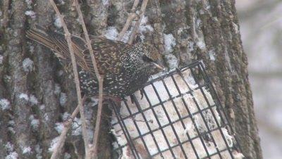 European Starling Feeding on Suet in Snowstorm