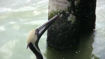 Brown Pelican Waiting Expectantly for Fish, Fishing Pier, Florida