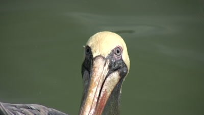 Close Up Brown Pelican Face, Pelican Floating in Water