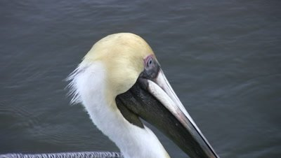 Close Up Brown Pelican Face, Pelican Swimming in Current, Exits