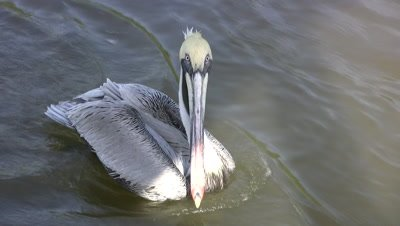 Brown Pelican Swimming in Current, ZI to CU Face