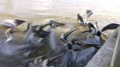 Pelicans Feeding, Fighting, One Swallows Quickly