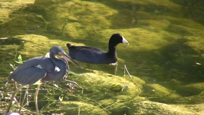Little Blue Heron and American Coot, Wading, Swimming in Shallows, Heron Exits