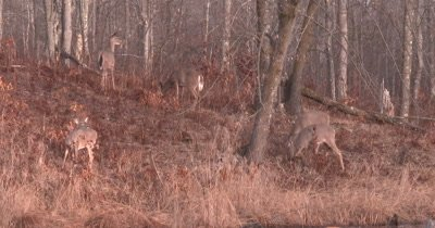White-tailed Deer, Does, Browsing Along Hillside