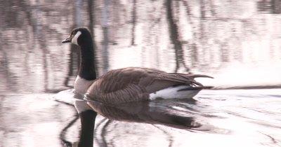 Canada Goose, Gander, Swimming in Water
