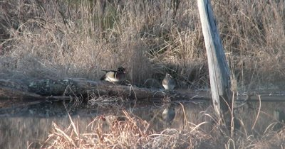 Pair of Wood Ducks in Pond, Preening, Fluffing, Moving Up and Down on Log