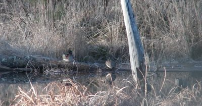 Pair of Wood Ducks in Pond, Resting on Log