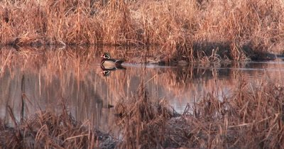 Male Wood Duck, Drake, Swimming in Pond, Exits