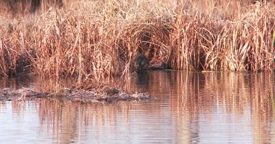 Muskrat Swimming Toward Landing Platform, Carrying Vegetation from Water, Feeds