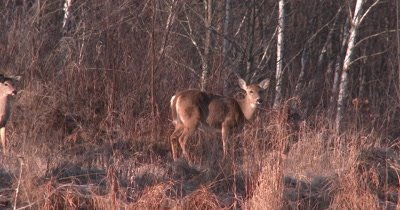 White-tailed Deer, Doe Grooming, Stops, Looks, Lifts Head