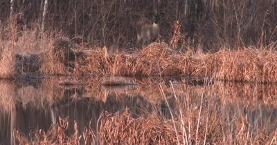 Small White-tailed Deer, Young Doe, Moves Down Toward Edge of Pond