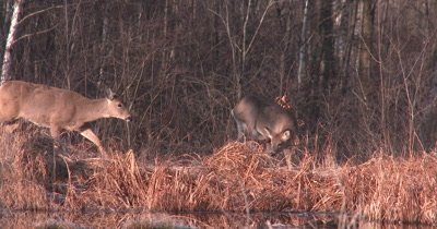 Small White-tailed Deer, Scratching Head, Doe Walks Through Frame Behind, Exits
