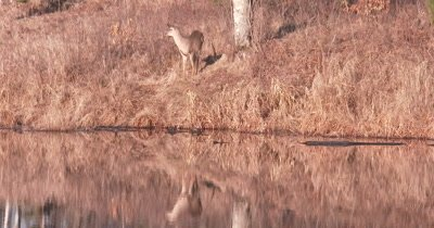 White-tailed Deer Feeding on Bank Near Water