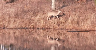 White-tailed Deer, Juvenile, Moving Along Edge of Pond, Reflection, Looking Down into Water