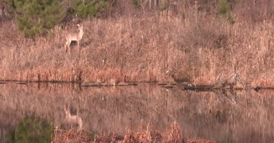 White-tailed Deer Feeding on Hillside Over Pond, Reflection in Water, Lifts Head, Looks To Side