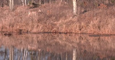 White-tailed Deer Walking on Hill Above Pond, Stops, Browses, Then Looks Back