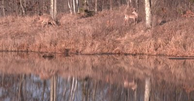 White-tailed Deer on Hill Above Pond, Feeding, Grooming, Reflection in Pond