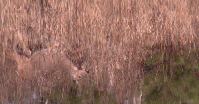 Reflection of White-tailed Deer In Water, Looking, Staring, Then Moves Off Downhill