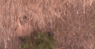 Reflection of White-tailed Deer In Water, Feeding, ZO to WA Scene of Deer Feeding Above Pond