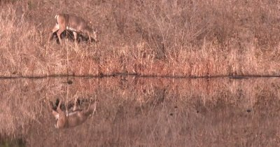 White-tailed Deer Feeding Near Water, Reflection in Water Below