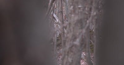 Ruffed Grouse in Wooded Area, Peeking Through Branches of Trees
