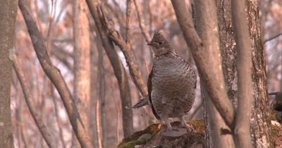 Ruffed Grouse Standing in Woods on Moss, Looking, Moving Head