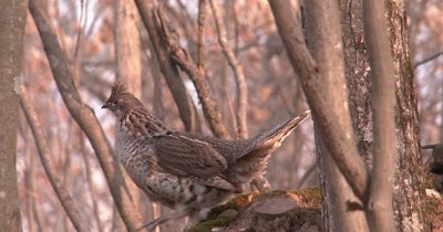 Ruffed Grouse, Tail Spread, Moving Up and Down Mossy Hummock in Woods