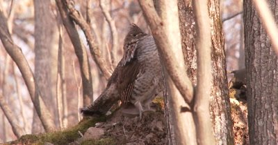 Ruffed Grouse Standing With Head Tucked Down, Studying Scene