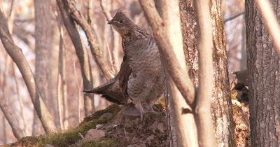 Ruffed Grouse Staring Hard Toward Camera, Craning Neck to Look