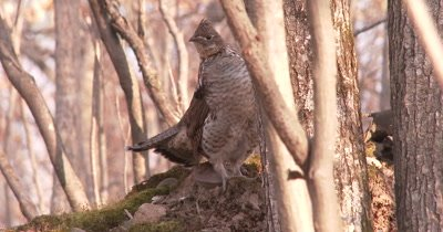 Ruffed Grouse, Resting on Hummock in Woods, Moving Slightly