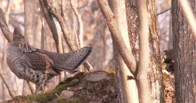 Ruffed Grouse, Tail Spread, Moves Down and Back up, Drums With Head Hidden Behind Tree