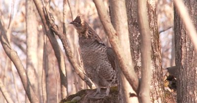 Ruffed Grouse Standing, Staring, Eye Moves into Sunlight, Grouse Looks Up Slightly