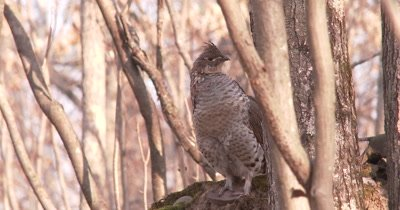 Ruffed Grouse Standing in Woods, Sleepy