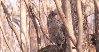 Ruffed Grouse Standing in Woods, Sleepy