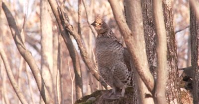 Ruffed Grouse Standing in Woods, Staring, Head Exposed to Sunlight